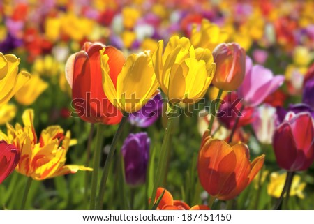 Field of Mixed Colors Tulip Flowers in Bloom During Spring Season Landscape at Oregon Tulip Farm Background - stock photo