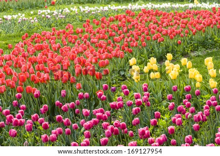 Field of multicolor tulips
