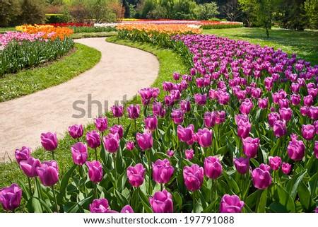 field of multicolor tulips - stock photo
