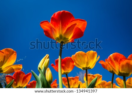 Field of multicolored tulips from underneath