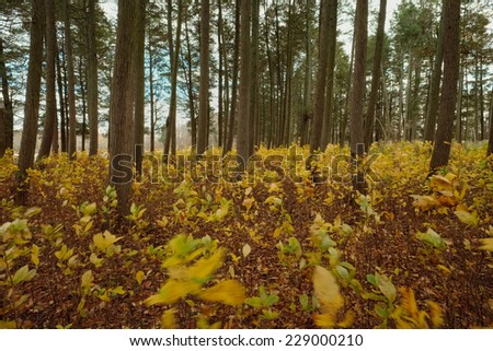 Field of new seedling trees and tall Atlantic White cedar trees in the New Jersey Pine Barrens - stock photo