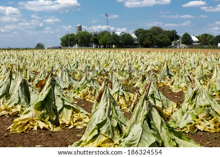 Field of partially harvested tobacco in Lancaster County Pennsylvania - stock photo