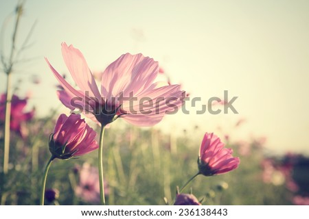 Field of pink cosmos flowers