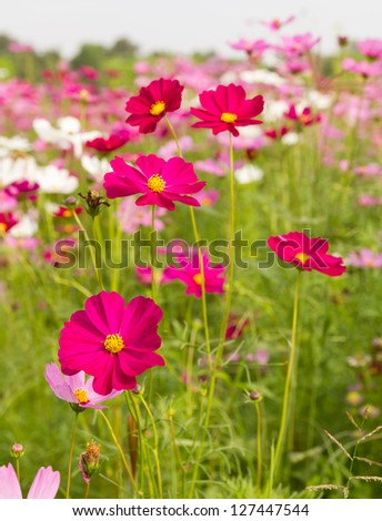 Field of pink cosmos flowers  in Thailand