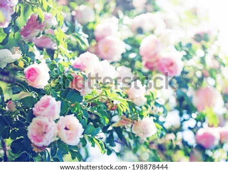 field of pink roses - stock photo