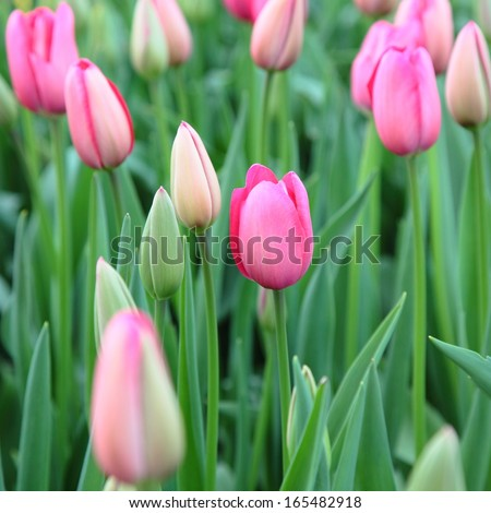 Field of pink tulips - stock photo