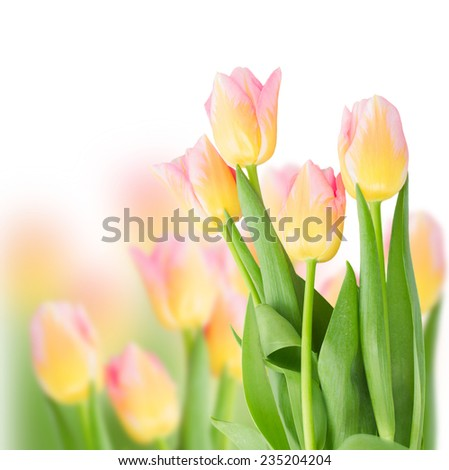 field of pink tulips close up on white  background - stock photo