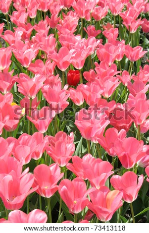 Field of pink tulips with one red in center - stock photo