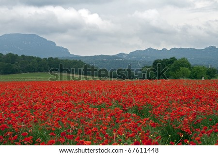 Field of poppies: field red with poppies in Southern France, near Pic Saint Loup mountain (North of Montpellier) on a cloudy (rainy) day. - stock photo