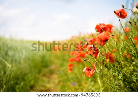 Field of poppies. Focus on first poppies. - stock photo