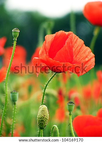 Field of poppies. Macro image. - stock photo