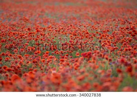 Field of poppies, poppy field - stock photo