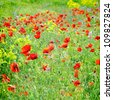Field of poppies with green grass and yellow flowers - stock photo