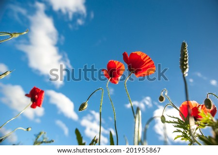 Field of Poppy Flowers in Summer