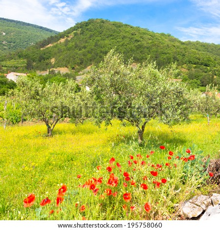 Field of Poppy Flowers Papaver rhoeas and olive trees in Spring.  - stock photo