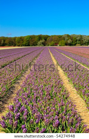 Field of purple hyacinths with blue sky