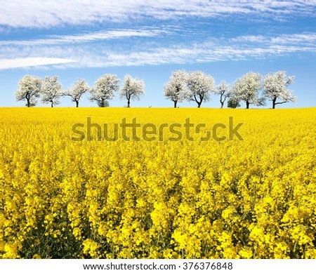 field of rapeseed and alley of cherry tree, rapeseed is the best plant for green energy and oil industry - stock photo