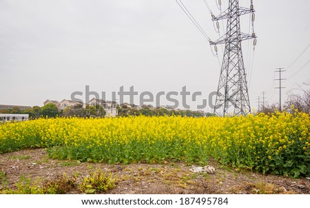 field of rapeseed (brasica napus) and high voltage pole in Shanghai