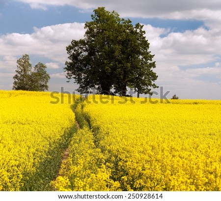 Field of rapeseed - brassica napus - plant for green energy and green industry