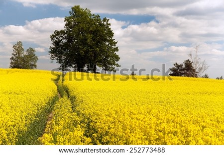 Field of rapeseed - brassica napus - plant for green energy and green industry - stock photo