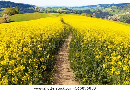 field of rapeseed (brassica napus) with rural road - plant for green energy and oil industry