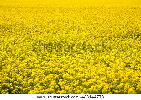 Field of rapeseed plant as natural yellow background