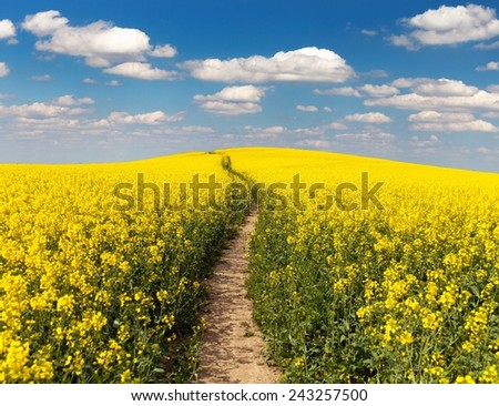 Field of rapeseed with rural road and beautiful cloud (brassica napus) - plant for green energy and green industry  - stock photo