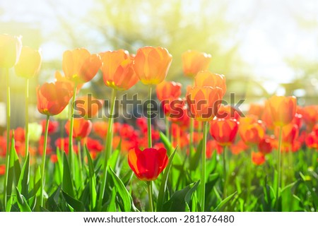 Field of red colored tulips with starburst sun