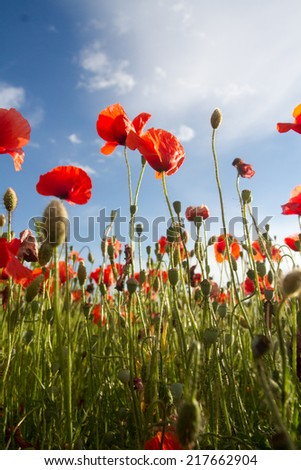 Field of red corn poppy - stock photo