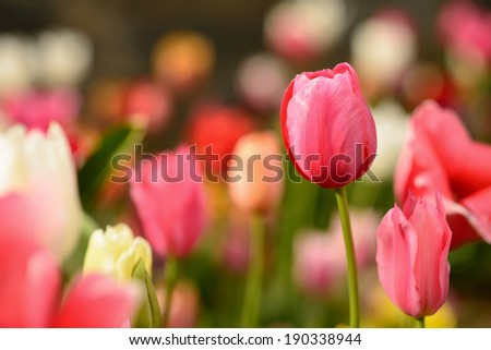 Field of Red, Pink, and White Flowers - stock photo