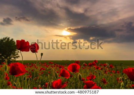 Field of red poppies in bright evening light