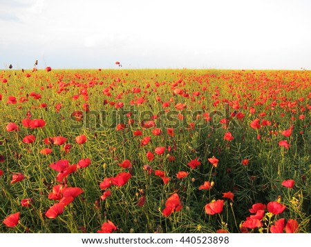 Field of red poppies in bright light