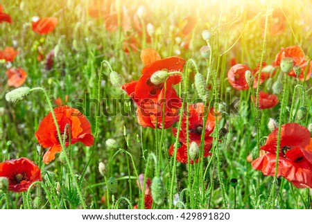 Field of red poppies in bright sunlight. Close up image