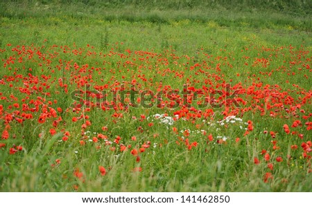 Field of red poppies with green grass - stock photo