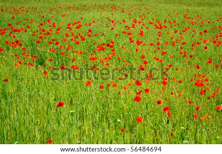 Field of red poppies with green wheat
