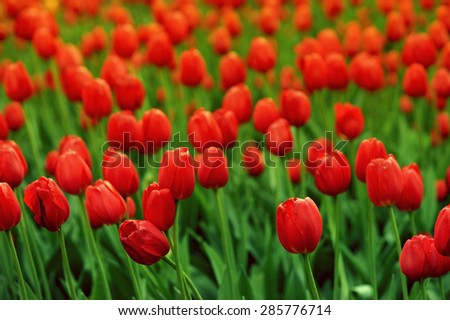 Field of red tulips. Closeup photo with shallow depth of field
