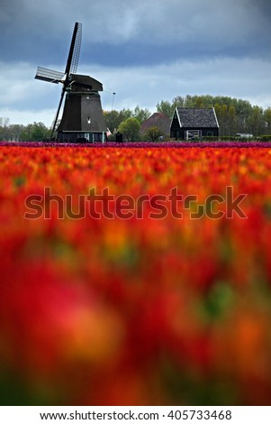 Field of red tulips with windmill in against a stormy looking sky, Holland tradition landscape, rainy day Holland, Netherlands - stock photo