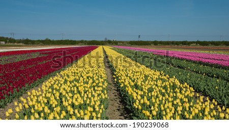 Field of red, yellow and pink colored tulips
