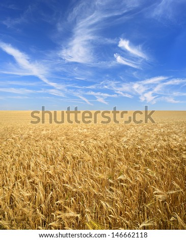 Field of Ripe Barley Crop under Blue Sky with Cirrus Clouds - stock photo