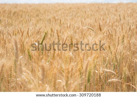 Field of ripe ears of golden wheat ready for harvesting as grain in a full frame close up view of the cereal - stock photo