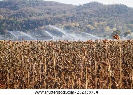 Field of ripe sunflower dry autumn - stock photo