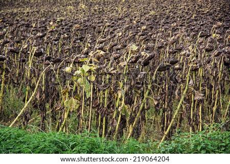 Field of ripe sunflowers. Harvest in autumn. - stock photo