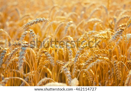 Field of ripe wheat before harvest on sunny summer day.