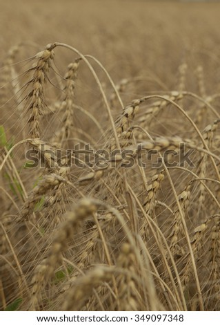 Field of ripe wheat ears before harvesting. - stock photo