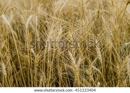 Field of ripe wheat in the evening, large ears visible