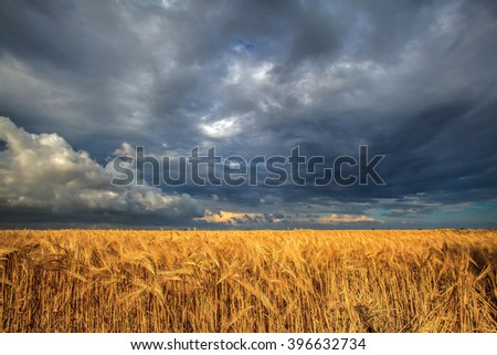 field of ripe wheat on a background of a stormy sky
