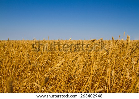 Field of ripe wheat ready for harvest. Summer sunny day