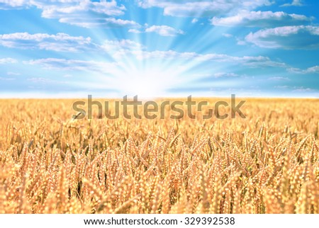 Field of ripe wheat with sun and blue cloudy sky