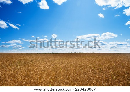 Field of ripened wheat growing under a clear blue sky