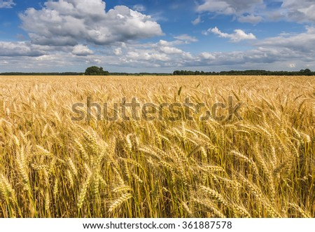 Field of ripening rye by summer day, Europe